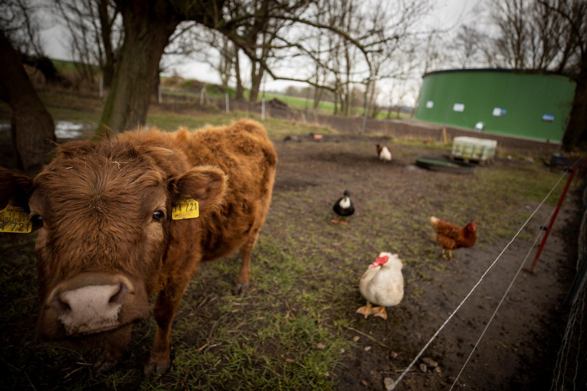 Ein Kalb und Hühner stehen in einem Gehege, im Hintergrund ist ein grüner Silo zu sehen.